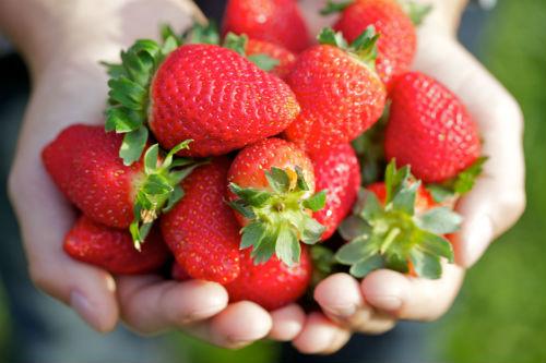 Strawberry Farm_Cameron Highlands